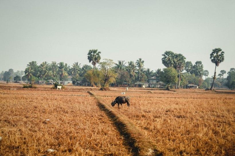 Con trâu, Sihanoukville